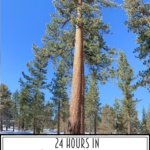 24 Hours In Big Bear featured by Top US Travel Blog, Style & Wanderlust; tree in Big Bear