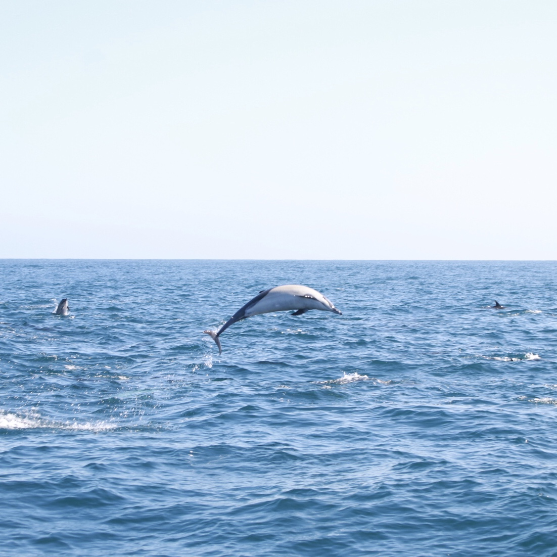 Local Love: 5 Best Things To Do In Orange County with kids this spring featured by popular US Travel Blogger, Style & Wanderlust; photo of spinner dolphin jumping